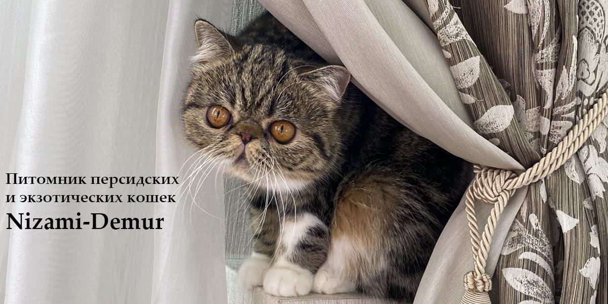 питомник персидских и эзотических кошек